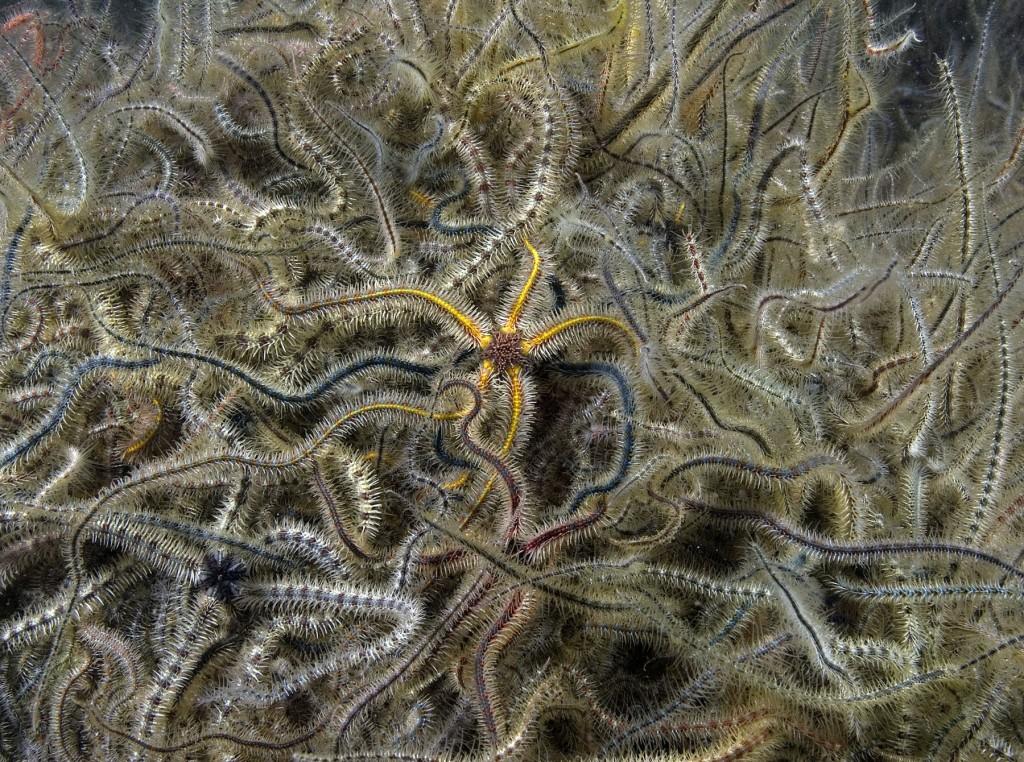 Common brittlestars, Melfort 1