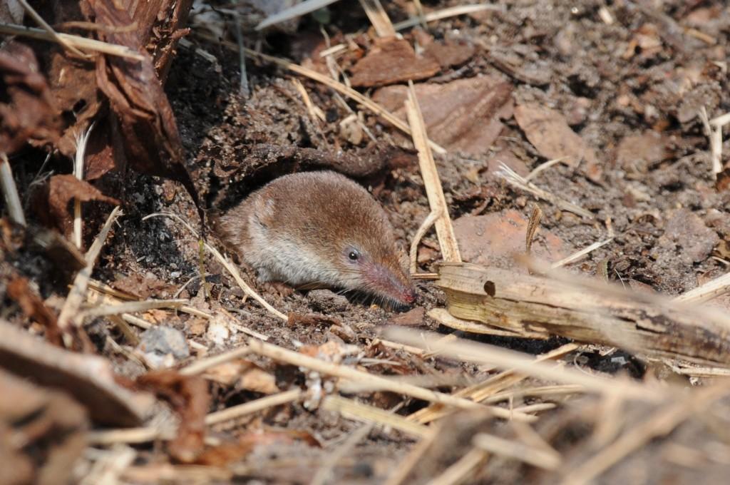 Common shrew (c) Carl Wright