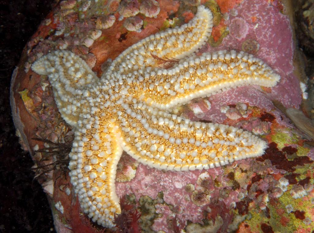 Common starfish, Sheringham