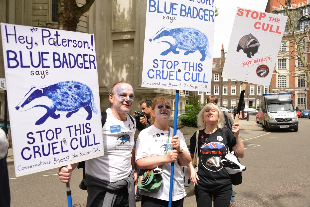 Blue Badger conservatives against the cull copyright Gordon McGlone PhotoNatura