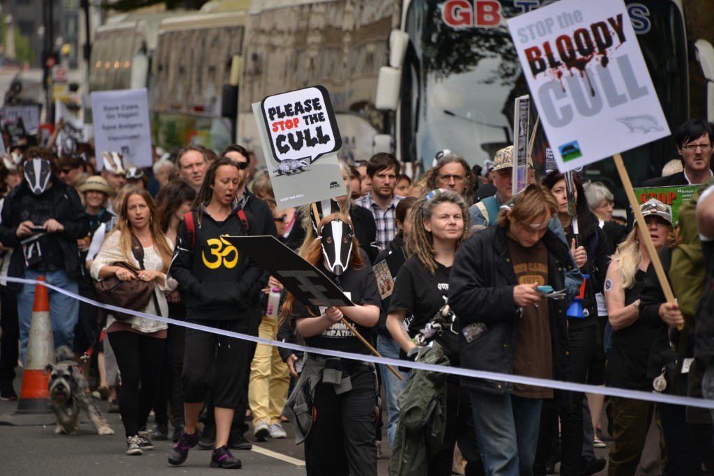 Britain againstthe Badger cull copyright Gordon McGlone PhotoNatura