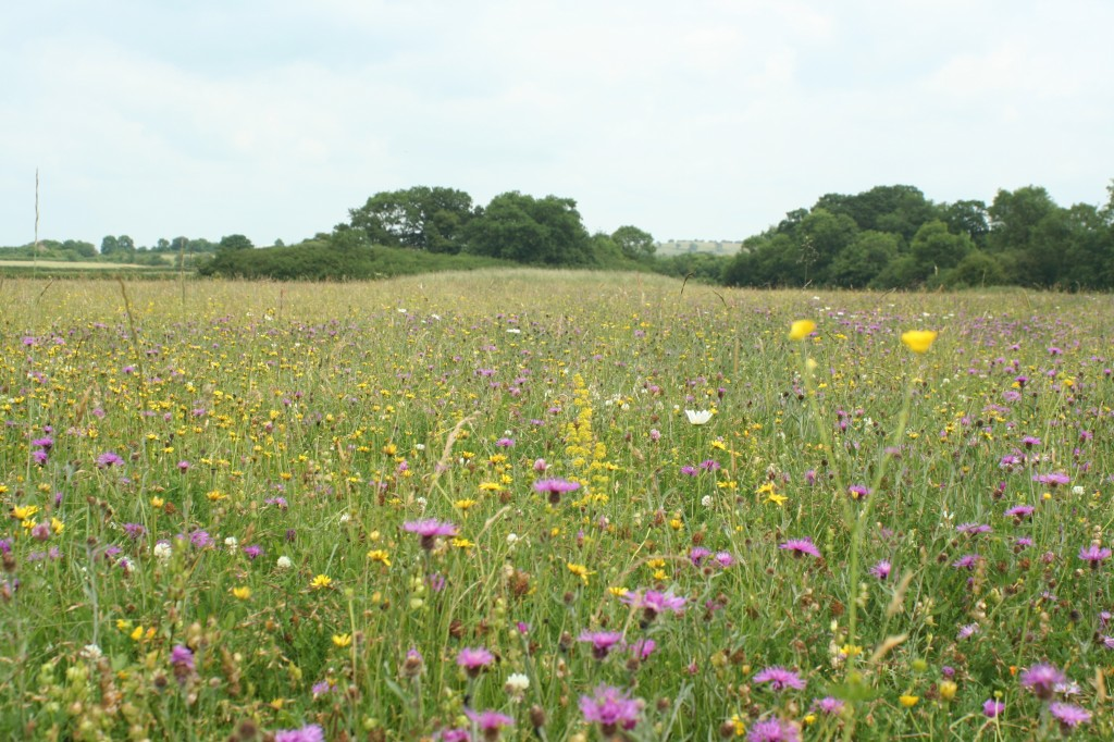 Doddershall Meadow_Matt Jackson