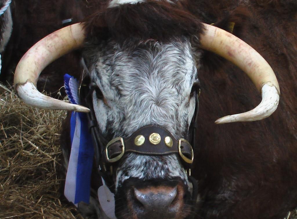 Prize Bull