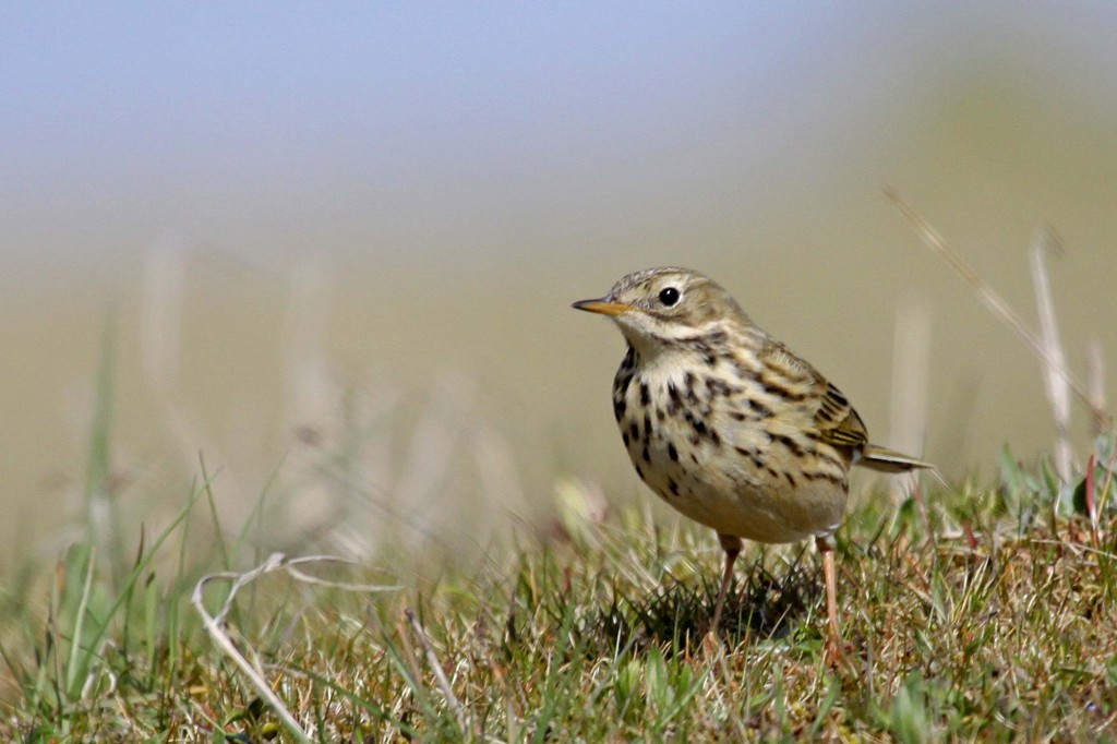 Meadow pipit (c) Margaret Holland