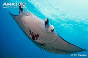 Reef-manta-ray-ventral-view