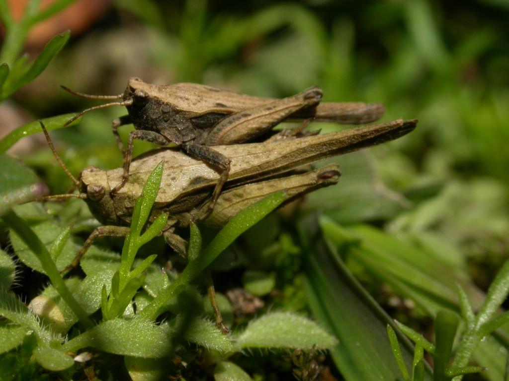 Slender_Groundhopper2,_Derbyshire_cpt_,Philip_Precey
