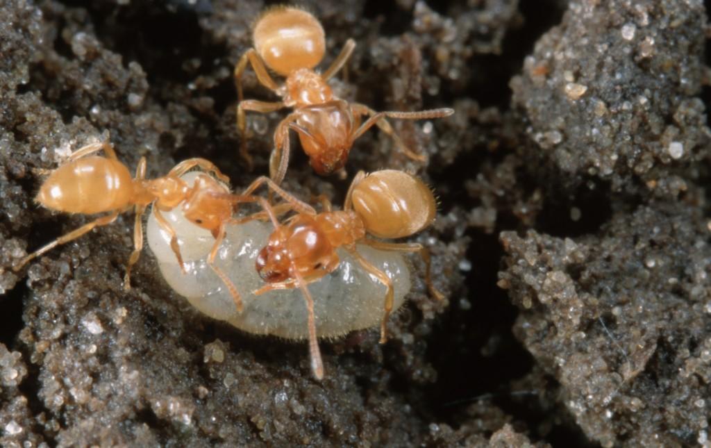 MOUND ANT